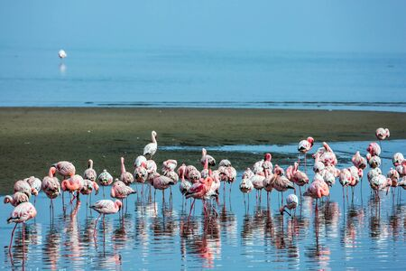 Flock of magnificent white - pink flamingos are picturesquely reflected in smooth water. Early morning on the atlantic coast of Namibia. Ecological, active and photo tourism concept Фото со стока