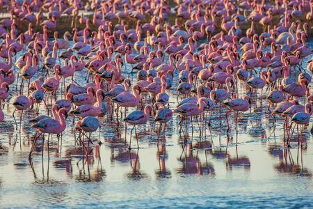 Pink flamingos. Interesting birdwatching. Gorgeous pink birds feed and spend time in the shallow water of the Namibian resort of Swakopmund. Ecological, zoological and photo tourism concept