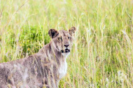 Young lioness in tall green grass is preparing for the hunt. The famous Masai Mara Reserve in Kenya. Grassy savannah. The concept of ecological, exotic, extreme and photo tourism