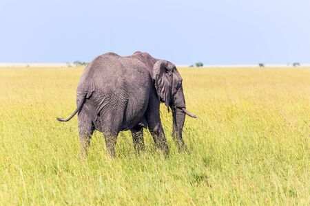 Huge lonely elephant in the grass of the savannah. Afrika. The Masai Mara Reserve in Kenya. Elephants are the largest mammals. The concept ecological, exotic, extreme of and photo tourism