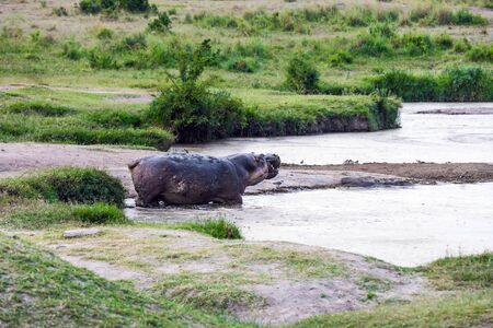 Hippo by the lake. Hippopotamus is one of the largest modern land animals. Africa. Safari Masai Mara, Kenya. Concept of exotic, extreme tourism and photo tourism Stockfoto