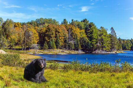 Huge black bear is resting in a grassy meadow near the forest lake. Indian summer in Canada. Wonderful fall day. Ecological, active and photo tourism concept
