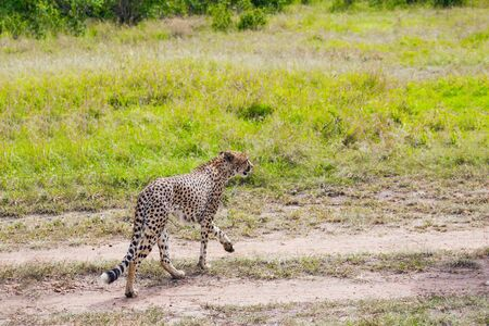 Predatory mammals in Masai Mara Park. The cheetah walk freely on the car tracks of the savannah. Jeep-safari in spring in the African savannah. Kenia. Concept of extreme and photo tourism Stock Photo