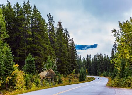 Red deer with branching horns grazes on the side of the road. Cloudy fall day in the Canadian Rockies. Great road crosses the Canadian Rockies. Sunset. Concept of active, eco and photo tourism