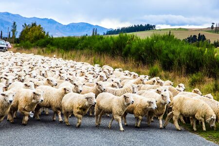 Huge herd of sheep crosses the road. The South Island of New Zealand. White thin fleece from New Zealand is highly regarded in the world market. The concept of active, environmental and photo tourism