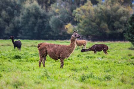 Herd of brown and black lamas after a haircut is grazed on a green lawn.