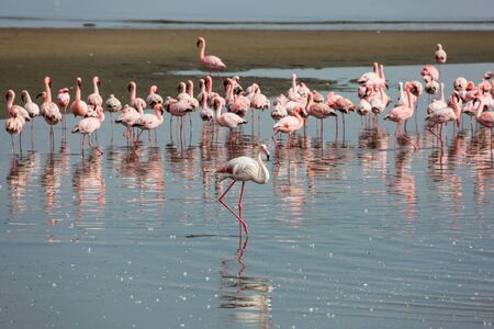 Flock of magnificent birds feed themselves in coastal silt. White and pink flamingos are picturesquely reflected in smooth water. Namibia. Sunrise. Ecological, active and photo tourism concept Фото со стока