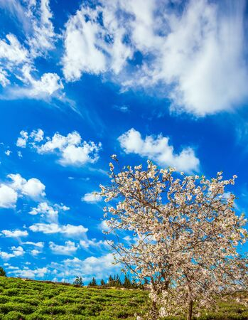 Spring in Israel. White-pink olive tree flowers and fresh green grass in the hills. Light spring clouds over blooming land. Lush elegant flowering of an olive tree. Ecological and photo tourism concept Standard-Bild
