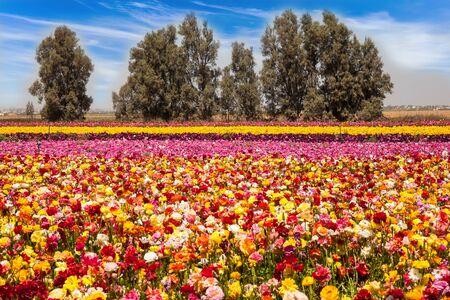 The field of flowering colorful buttercups. Beautiful sunny spring day. Gorgeous striped floral carpet. Spring walk in southern Israel. Ecological, botanical and photo tourism concept