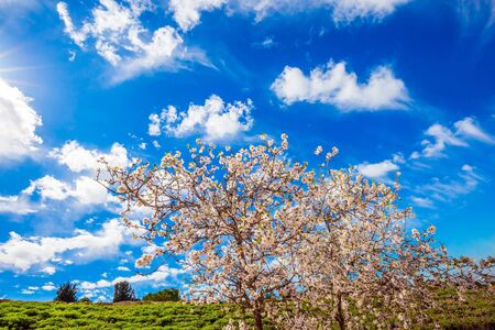 Spring in Israel. White-pink olive tree flowers and fresh green grass in the hills. Light spring clouds over blooming land. Lush elegant flowering of an olive tree. Ecological and photo tourism concept