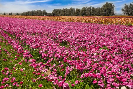 Gorgeous  striped floral carpet. Kibbutz field of flowering colorful buttercups. Spring walk in southern Israel. Beautiful sunny spring day. Ecological, botanical and photo tourism concept