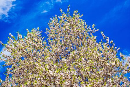 White-pink olive tree flowers. Lush spring olive tree flowering is the basis of olive oil production. Spring in Israel. Light spring clouds over blooming land. Ecological and photo tourism concept