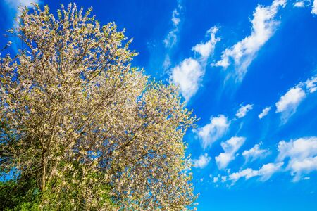 Ecological and photo tourism concept. White-pink olive tree flowers. Spring in Israel. Lush spring olive tree flowering is the basis of olive oil production. Light spring clouds over blooming land