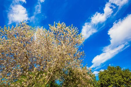 Spring in Israel. Ecological and photo tourism concept. White-pink olive tree flowers. Lush spring olive tree flowering is the basis of olive oil production. Light spring clouds over blooming land