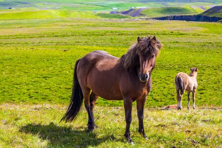 Portrait of a thoroughbred horse with a brown mane. Green fresh tall grass in summer tundra. Iceland. Strong Icelandic horses on a free pasture. Dream Journey to the North of the Earth Stockfoto