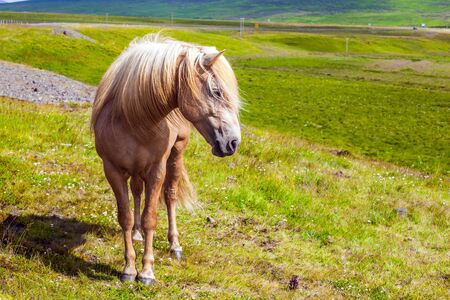 Dream trip to Iceland. Portraits of fair-haired horse. Fabulously beautiful and kind horse of a unique Icelandic breed. Golden summer sunset in the Icelandic summer tundra. Photo tourism concept