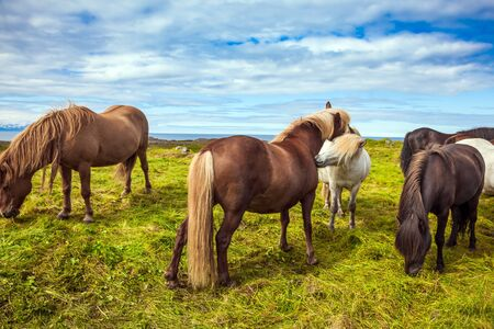 Well-groomed Icelandic horses on a free pasture. Thoroughbred and beautiful horses with light manes and tails. Green fresh tall grass in summer tundra. Iceland. Journey of dreams. Stockfoto