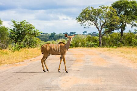 The antelope Kudu - large ungulates beautiful herbivore crosses a narrow road for tourists. The concept of ecological and photo tourism. Africa. The Kruger Park