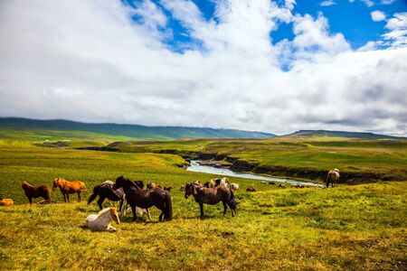 Only one breed of horse lives in Iceland. Beautiful and well-groomed Icelandic horses on a free pasture. Green fresh tall grass in Tundra. Summer in Iceland. Journey of dreams. 写真素材
