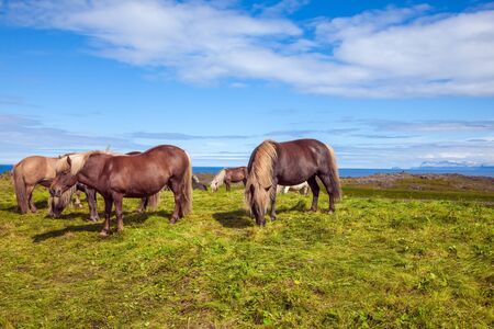 Herd of beautiful horses grazes in the green tall grass of the Icelandic tundra. Only one breed of horse lives in Iceland. Golden summer sunset. Ecological, active and photo tourism concept 写真素材
