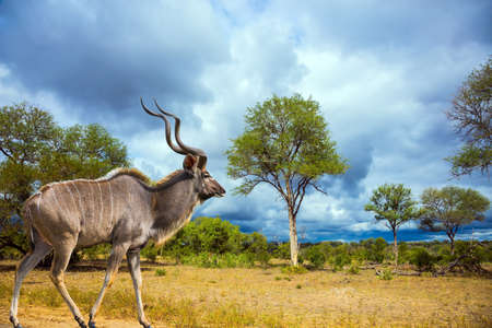 Kruger Park. South Africa. Huge kudu male with long horns grazes in a bush among acacias and green grass. Animals live and move freely in the savannah. The concept of ecological and photo tourism Stock Photo