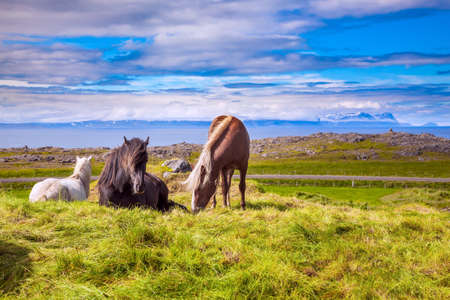 Beautiful, kind and strong Icelandic horses grazed on a free pasture. Green fresh tall grass in summer tundra. Iceland. A journey of dreams.