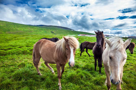 Only one breed of horse lives in Iceland. Herd of beautiful and kind horses grazes in the Icelandic tundra. Golden summer sunset. Ecological, active and photo tourism concept