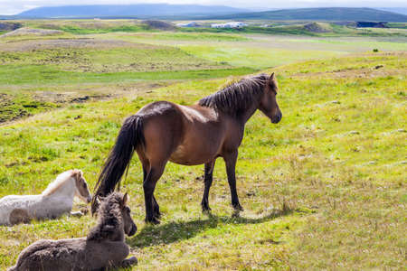 Beautiful, kind and strong Icelandic horses graze on a free pasture. Portrait of a thoroughbred horse with a brown mane. Green fresh tall grass in summer tundra. Iceland. Dream Journey