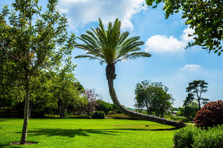 Picturesque curved huge palm tree casts a shadow on the grass. Warm sunny day. Large green grass glade in the center of the park. Great walk in a clean well-maintained park