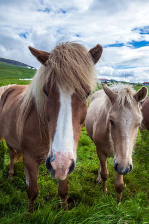 Dream trip to Iceland. Portraits of two horses. Beautiful and kind horses of a unique Icelandic breed. Golden summer sunset. Icelandic tundra. Ecological, active and photo tourism concept Stockfoto