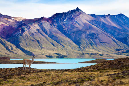Guanaco is a wild humpbacked camel that lives in South America. Los Glaciares Natural Park. Argentina, Patagonia. Huge lake with azure water and cold mountains.