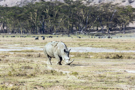 African savannah on the shores of Lake Nakuru. Lonely rhino grazing in the grass. Birds live on the skin of a rhino. Kenia. Symbiosis of animals. The famous African Big Five. Stockfoto
