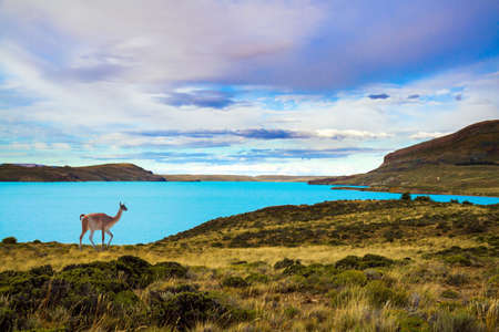 Guanaco is a wild humpbacked camel that lives in South America. Argentina, Patagonia. Los Glaciares Natural Park. Huge lake with azure water and cold mountains.