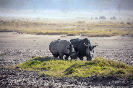 The famous African Big Five. Picturesque pair of wild African rhinos goes to the lake to drink. The shores of Lake Nakuru in Kenya. The Horn of Africa. Great Rift Valley