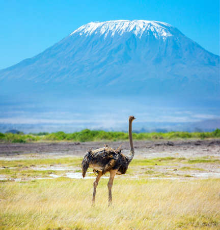African ostrich grazing in the savannah. Southeast Kenya, the unique Amboseli park. The peak is Mount Kilimanjaro with a snow cap on a flat top. Trip to the Horn of Africa, Kenya