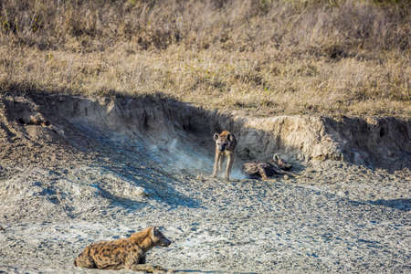 Family of spotted hyenas in the African savannah. Travel to the Horn of Africa. Kenia. Predatory animals in its natural habitat