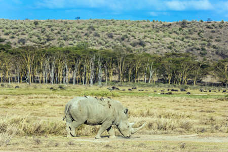 Kenia. Lonely rhino grazing in the grass. Birds live on the skin of a rhino. Symbiosis of animals. African savannah on the shores of Lake Nakuru. The famous African Big Five.