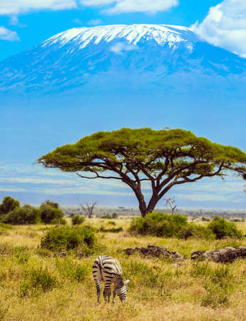 Lone zebra grazes in the African savannah at the foot of Kilimanjaro. Trip to the Horn of Africa. Southeast Kenya, the Amboseli park, desert acacia. Foto de archivo