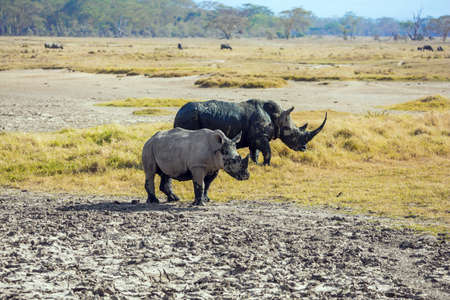 Gorgeous wild rhinos. African prairies on the shores of Lake Nakuru. The famous African Big Five. African prairies on the shores of Lake Nakuru. Great Rift Valley