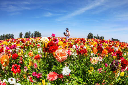 Bright beautiful multi-colored garden buttercups grow in a kibbutz field with a magnificent carpet. Spring in Israel. Light cirrus clouds. Wonderful trip for spring beauty.