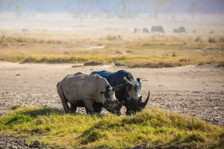 Picturesque pair of wild African rhinos goes to the lake to drink. The famous African Big Five. The shores of Lake Nakuru in Kenya. The Horn of Africa. Great Rift Valley