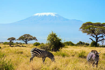 Trip to the Horn of Africa, Kenya. Pair of striped zebras graze in the savannah. The peak is Mount Kilimanjaro with a snow cap on a flat top. Southeast Kenya, the Amboseli park Foto de archivo