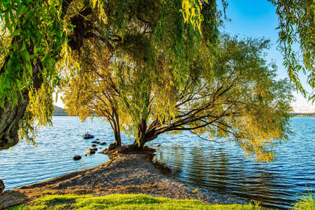 Magnificent sprawling tree by the lake. Quiet evening on the lake. Magnificent sunset. Taupo is the largest lake in New Zealand, North Island.
