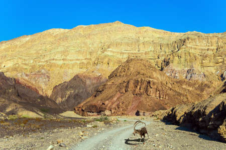 Nubian mountain goat with curled horns in the Eilat Mountains. The rocks are composed of sandstones, igneous and volcanic rocks. Multicolored landscape formations.