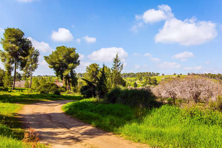 The edge of large blooming almond tree garden. Warm sunny february day. Israel. Wide dirt road crosses a flowering meadow