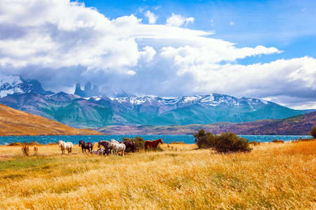 The mountain range is covered with eternal snow. The Torres del Paine park in Chile. Herd of wild horses graze on the yellow grass. Lagoon Azul is mountain lake near three rocks - torres.