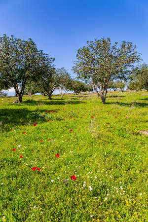 Green lawn with blooming red anemones. Warm sunny day. Desert acacias turn green with young leaves. Spring green world. Israel. Фото со стока