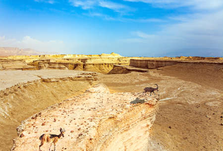 Mountain goats grazes between the hills. Israel. Ancient mountains and deserts around the Dead Sea. The Judean Desert. Magnificent exotic resort for treatment.