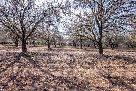 Morning walk in blooming almond grove. Picturesque alley of flowering almond trees. Light white clouds in the blue sky. Israel. Spring day in February. Фото со стока