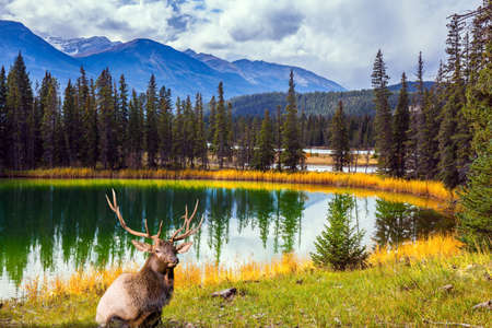 Noble branched deer grazing in the tall grass. Small round lake with cold green water. Coniferous forest  reflected in the water. Jasper Park. The Rocky Mountains of Canada